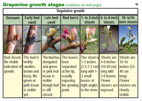 the vegetative growth of a vine
