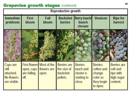 the reproductive growth of a vine