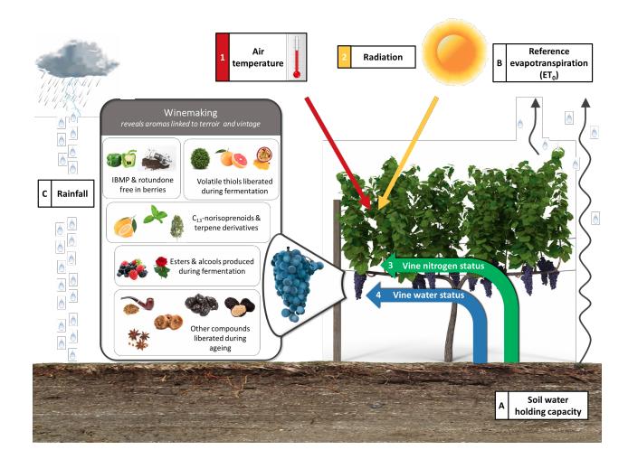 a diagram showing how air temperature, solar radiation, vine water status, and vine nitrogen status influence wine aromas