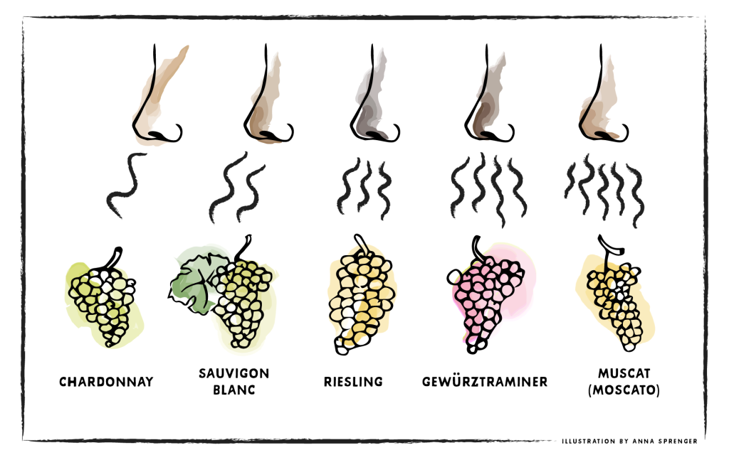 Aromas of 5 different grapes wafting up to noses. Squiggly lines on a scale of 1–5 represent how aromatic the grapes are.