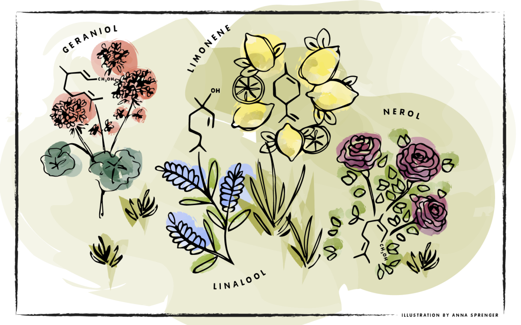 A drawing of four common terpene aromas (geranium, lemon, rose, lavender) next to their chemical symbols.