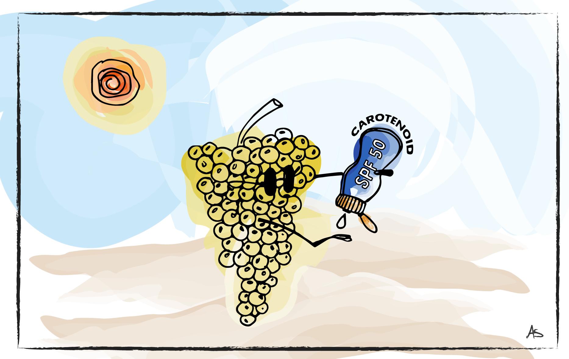 """A grape cluster applies carotenoid """"sunscreen"""" to itself."""
